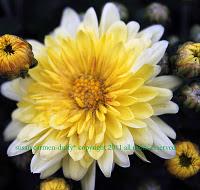 A closeup of a yellow mum flower